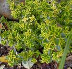 Golden Variegated Thyme Herb Plants