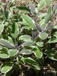 Tricolor Sage Salvia Herb Plants
