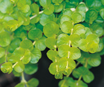 Creeping Jenny Ground Cover