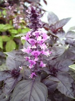 Opal Purple Basil Culinary Herb Plants