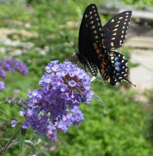 Butterfly Bush Nanho Blue