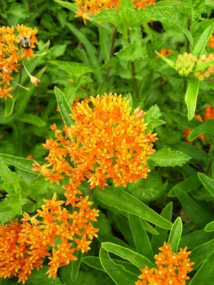 butterfly weed buterfly plants Asclepias tuberosa