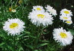 Crazy Daisy Perennial Flowers Large