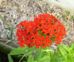 Maltese Cross Annual Flower