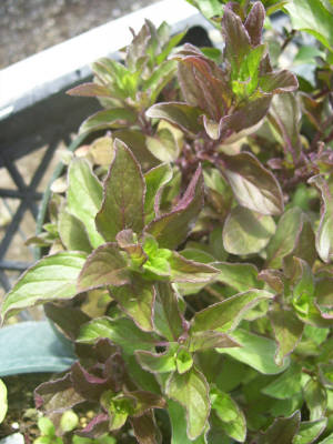 Fruit Sorbet Mint Plant
