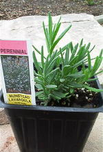 Lavender Munstead Herb Plants