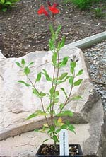 Maraschino Red Salvia Herb Plants