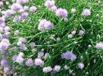 Chives Culinary Herb Plants