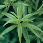 Lemon Verbena Herb Plants