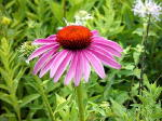 Purple Coneflower Herb Plants