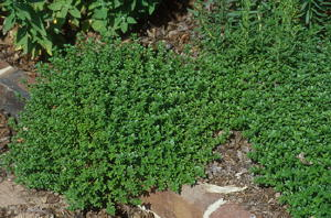 English Thyme Culinary Herb Plants
