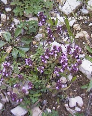Thyme Magic Carpet Fairy Garden Plants