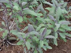 Purple Sage Salvia Herb Plants