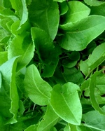 French Sorrel Herb Plants