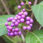 American Beauty Berry Shrub