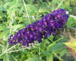 Buddleia Butterfly Bush Black Knight
