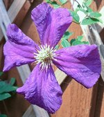 Clematis Polish Spirit Flowering Vine