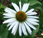 White Swan Coneflower Perennial Flower Plants