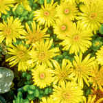 Yellow Ice Plant Succulent