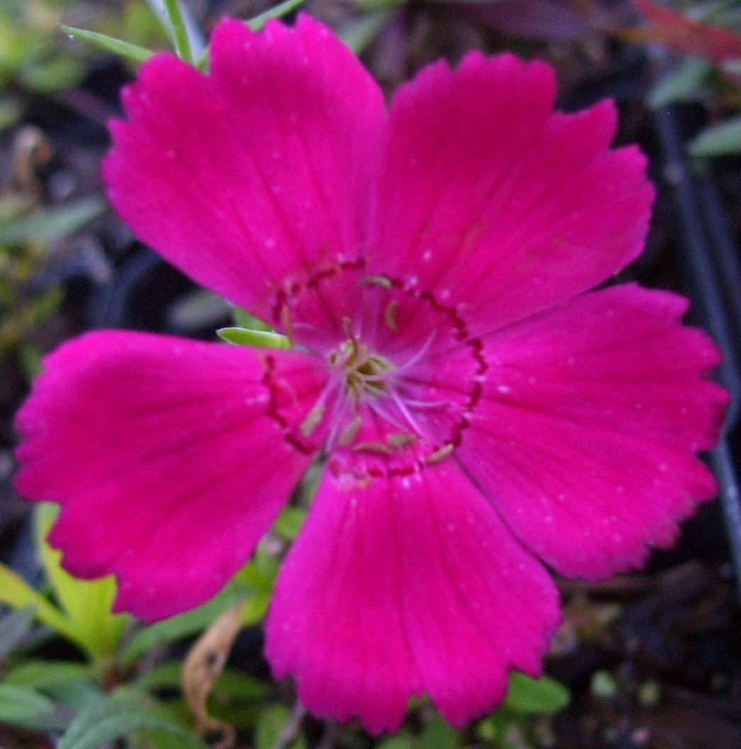 Dianthus, Zing Rose