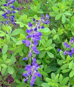 False Indigo Perennial Flower