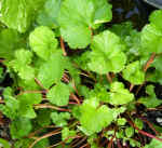 Scented Geranium Coconut Herb Plants