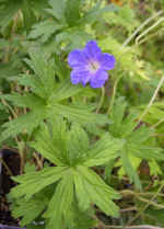 Geranium Johnson's Blue Herb Plants