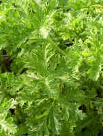 Peacock Scented Geranium picture