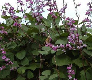 Hyacinth Bean Ruby Moon