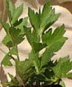 Lovage Herb Plants Image