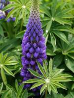 Lupine Russell Strain Flower