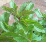 Eau de Cologne Mint Herb Plants