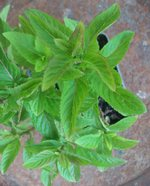 Fruit Salad Mint Plants