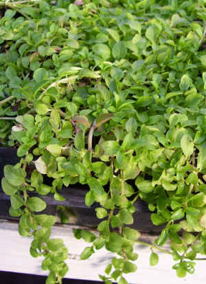 Pennyroyal Mint Plants