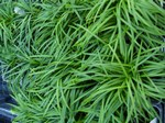 Mondo Grass Ornamental Grass