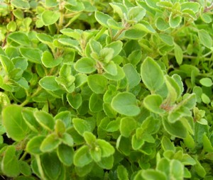 Creeping Oregano Herb Plants