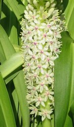 Annual Pineapple Lily Flower