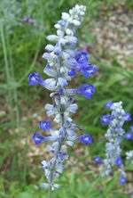 Hardy Salvia Victoria Blue Herb Plants