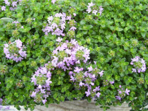 Red Creeping Thyme Herb Plants