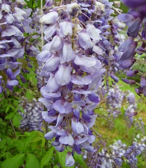Japanese Wisteria Tree Vine