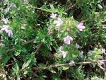 Caraway Thyme Herb Plants
