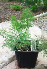 Dill Culinary Plants