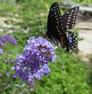 Butterfly Bush Nanho Blue