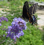 Butterfly Bush Buddleia Nanho Blue Perennial Flower