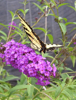 Buddleia Butterfly Bush Royal Red Perennial Bush Flower