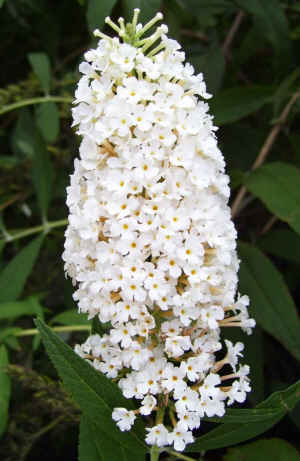 buddeia butterfly plants butterfly bush white profusion