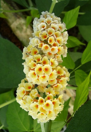 Butterfly Bush Golden Glow Yellow