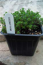 Coconut Thyme Herb Plants