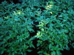 Lemon Basil Culinary Herb Plants