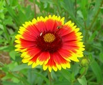 Blanket Flower Annual